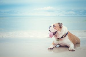bulldog lying on the beach