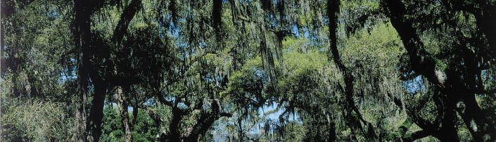 Litchfield Plantation Trees