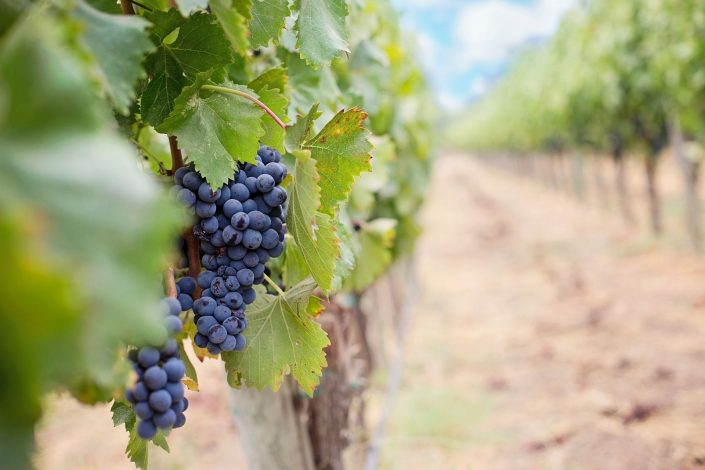 vineyard grapes in rows